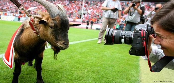 Koln goat